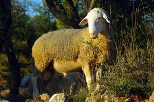 Sheep in Istria