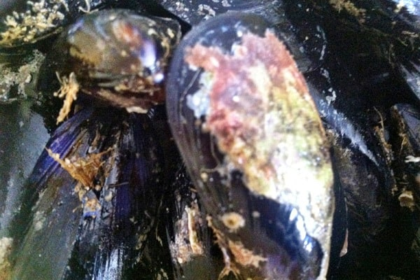 Fresh mussels recipe