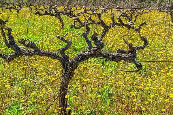 Off season island hopping in Croatia: Vineyards