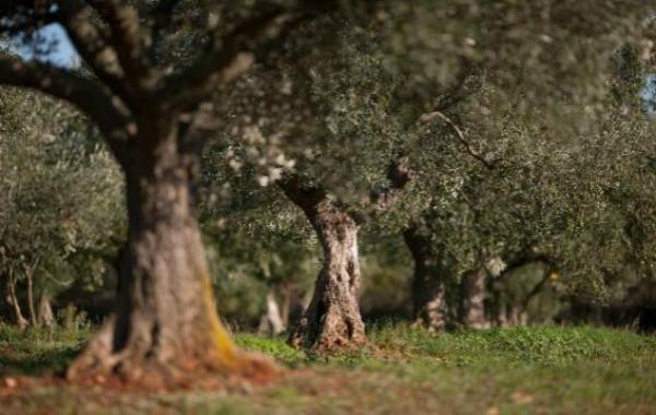 Chiavalon Olive Oil | Olive Trees